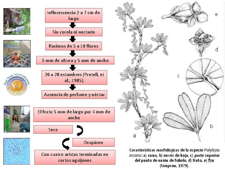 Inflorescencia 2 a 7 cm de largo Sin corola ni nectario Racimos de 5