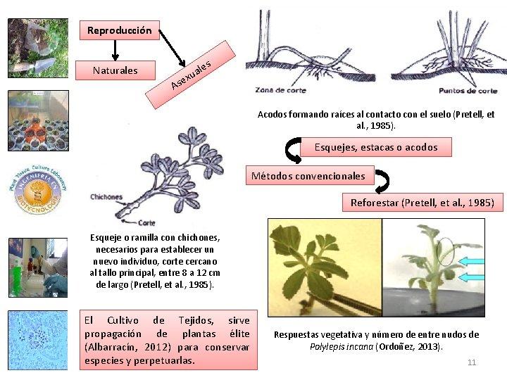 Reproducción les Naturales A ua x e s Acodos formando raíces al contacto con
