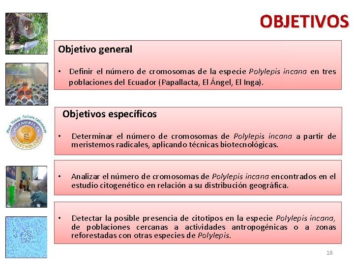 OBJETIVOS Objetivo general • Definir el número de cromosomas de la especie Polylepis incana