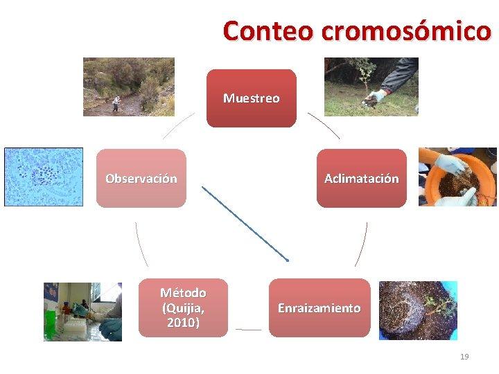 Conteo cromosómico Muestreo Observación Método (Quijia, 2010) Aclimatación Enraizamiento 19