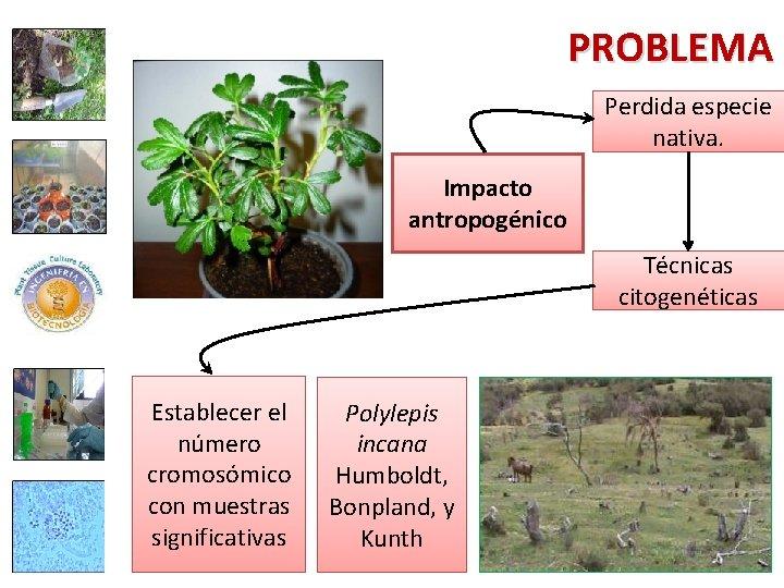 PROBLEMA Perdida especie nativa. Impacto antropogénico Técnicas citogenéticas Establecer el número cromosómico con muestras