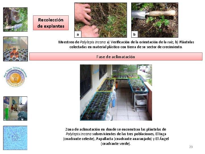 Recolección de explantes a b Muestreo de Polylepis incana a) Verificación de la orientación