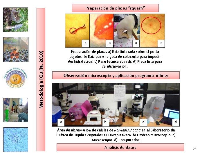 """Metodología (Quijia, 2010) Preparación de placas """"squash"""" Preparación de placas a) Raíz tinturada sobre"""