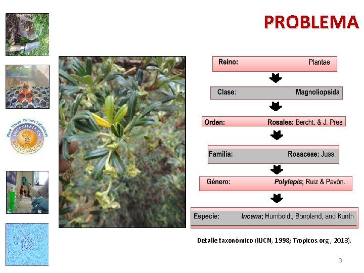 PROBLEMA Detalle taxonómico (IUCN, 1998; Tropicos. org. , 2013). 3