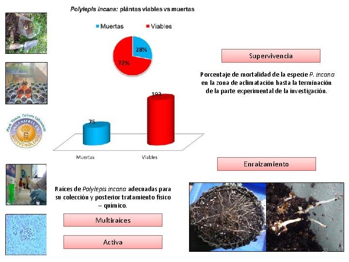 Supervivencia Porcentaje de mortalidad de la especie P. incana en la zona de aclimatación