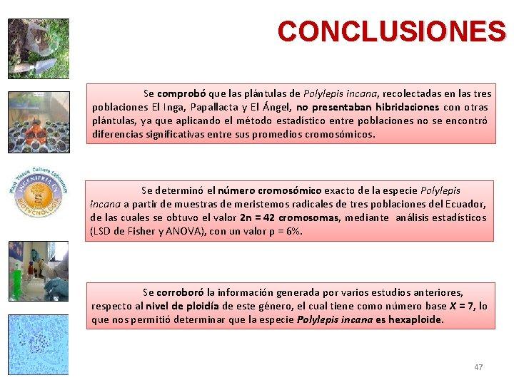 CONCLUSIONES Se comprobó que las plántulas de Polylepis incana, recolectadas en las tres poblaciones