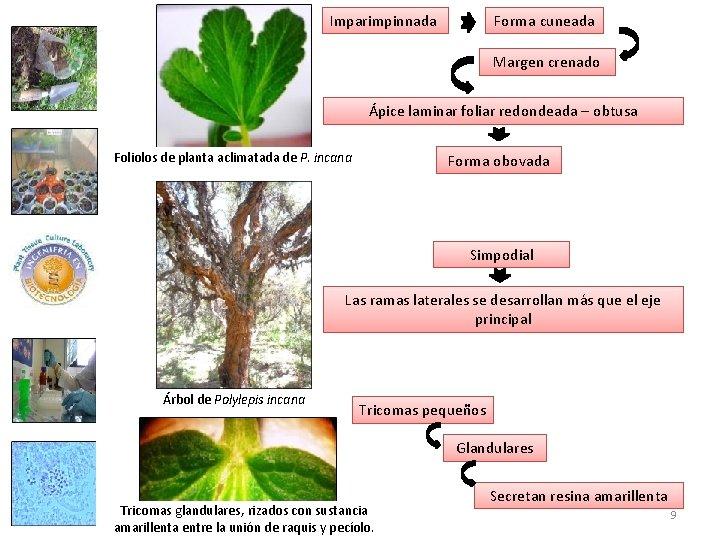 Imparimpinnada Forma cuneada Margen crenado Ápice laminar foliar redondeada – obtusa Foliolos de planta