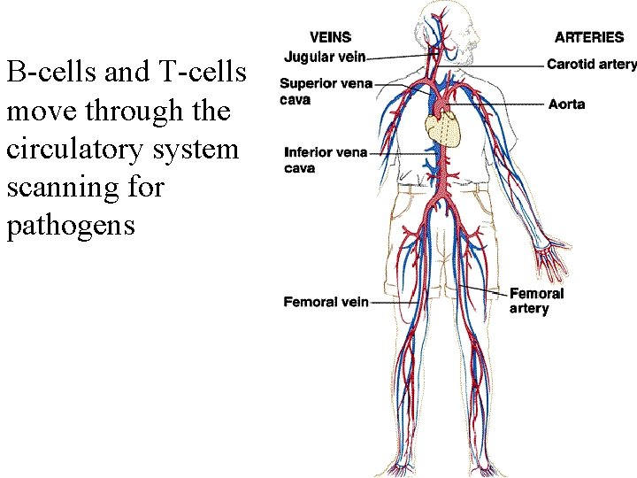 B-cells and T-cells move through the circulatory system scanning for pathogens