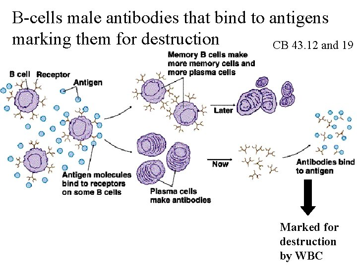 B-cells male antibodies that bind to antigens marking them for destruction CB 43. 12