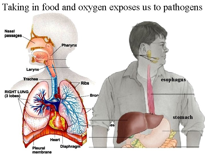 Taking in food and oxygen exposes us to pathogens esophagus stomach
