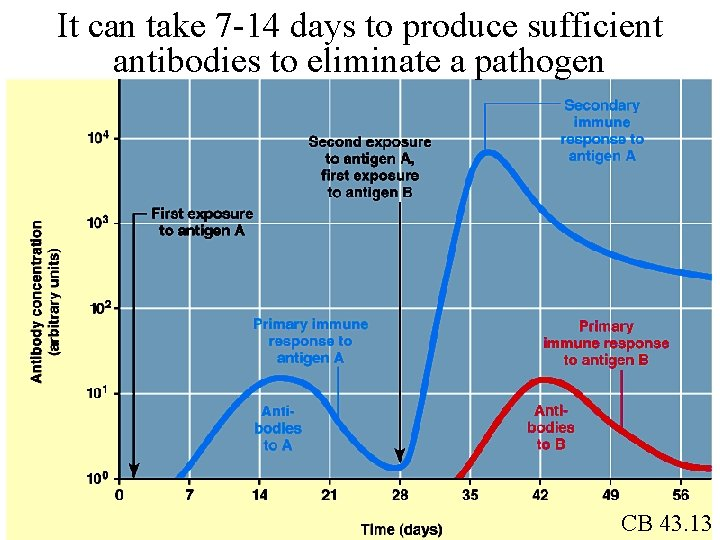 It can take 7 -14 days to produce sufficient antibodies to eliminate a pathogen