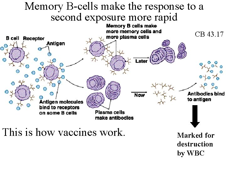 Memory B-cells make the response to a second exposure more rapid CB 43. 17