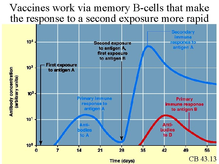 Vaccines work via memory B-cells that make the response to a second exposure more