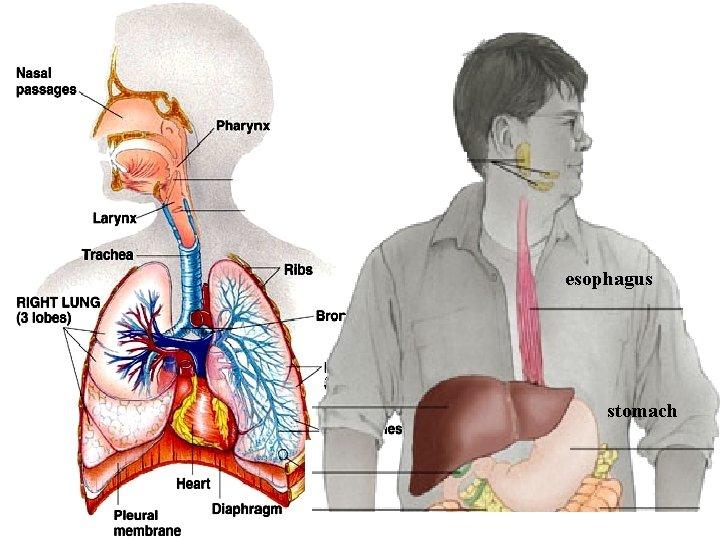 esophagus stomach