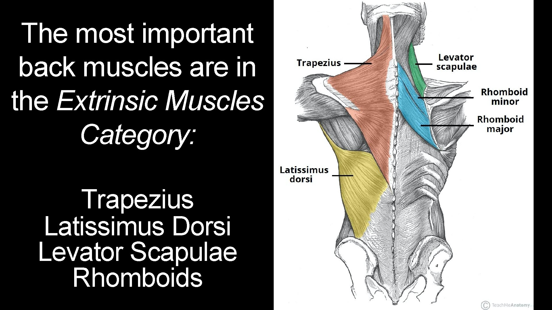 The most important back muscles are in the Extrinsic Muscles Category: Trapezius Latissimus Dorsi