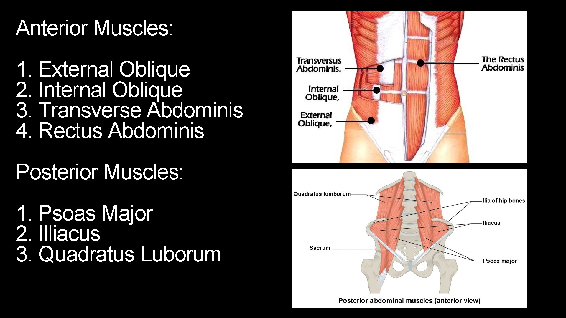 Anterior Muscles: 1. External Oblique 2. Internal Oblique 3. Transverse Abdominis 4. Rectus Abdominis