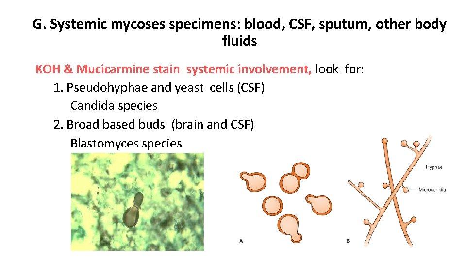 G. Systemic mycoses specimens: blood, CSF, sputum, other body fluids KOH & Mucicarmine stain