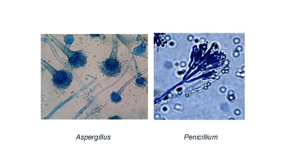 Aspergillus Penicillium