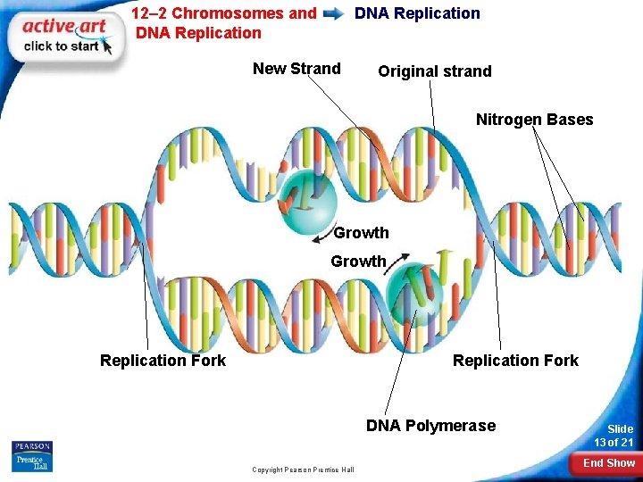 12– 2 Chromosomes and DNA Replication New Strand Original strand Nitrogen Bases Growth Replication