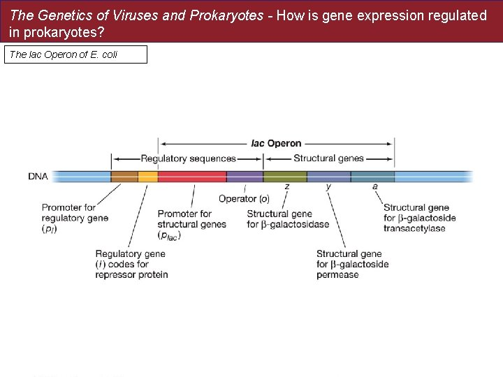 The Genetics of Viruses and Prokaryotes - How is gene expression regulated in prokaryotes?