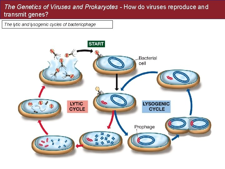 The Genetics of Viruses and Prokaryotes - How do viruses reproduce and transmit genes?