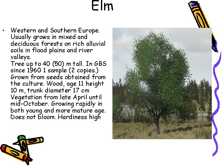 Elm • Western and Southern Europe. Usually grows in mixed and deciduous forests on