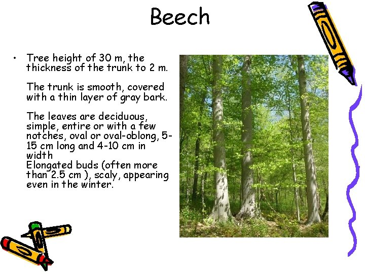 Beech • Tree height of 30 m, the thickness of the trunk to 2