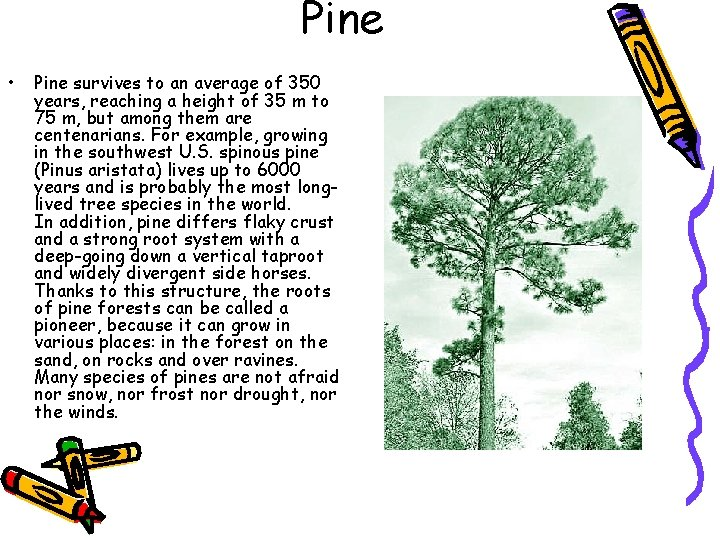 Pine • Pine survives to an average of 350 years, reaching a height of