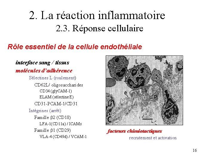 2. La réaction inflammatoire 2. 3. Réponse cellulaire Rôle essentiel de la cellule endothéliale