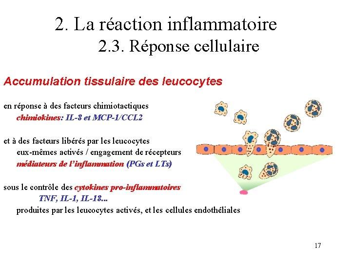 2. La réaction inflammatoire 2. 3. Réponse cellulaire Accumulation tissulaire des leucocytes en réponse