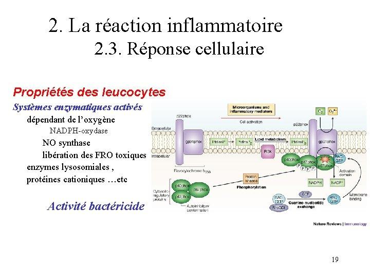 2. La réaction inflammatoire 2. 3. Réponse cellulaire Propriétés des leucocytes Systèmes enzymatiques activés