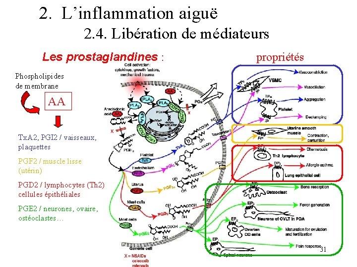 2. L'inflammation aiguë 2. 4. Libération de médiateurs Les prostaglandines : propriétés Phospholipides de