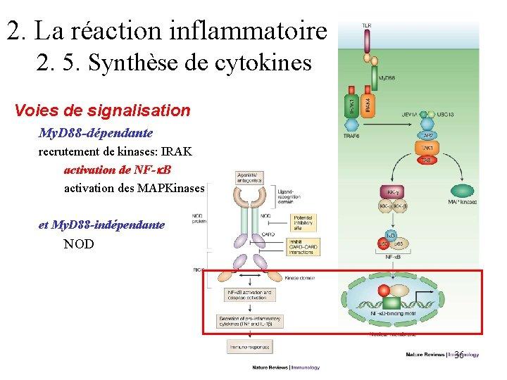 2. La réaction inflammatoire 2. 5. Synthèse de cytokines Voies de signalisation My. D