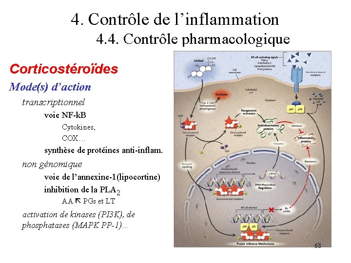 4. Contrôle de l'inflammation 4. 4. Contrôle pharmacologique Corticostéroïdes Mode(s) d'action transcriptionnel voie NF-k.