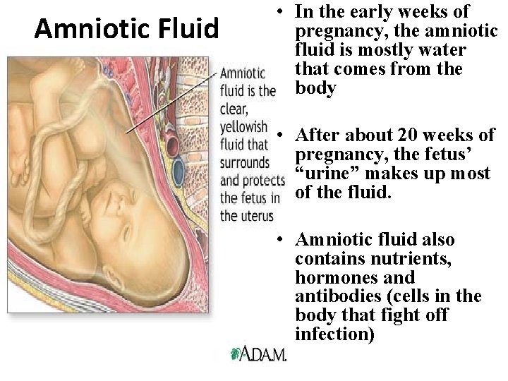 Amniotic Fluid • In the early weeks of pregnancy, the amniotic fluid is mostly