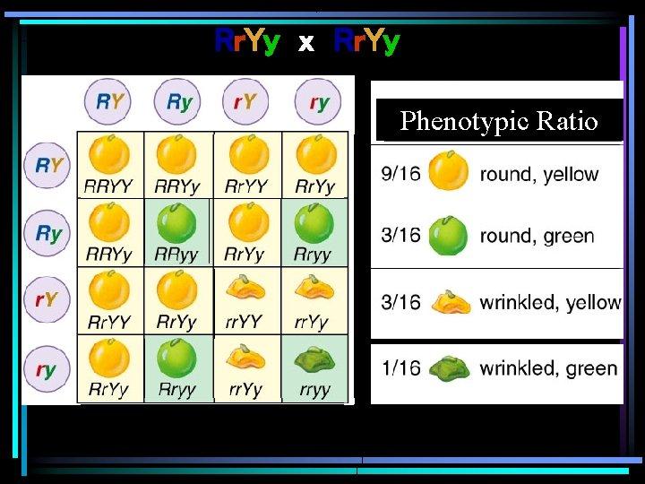Rr. Yy x Rr. Yy Phenotypic Ratio