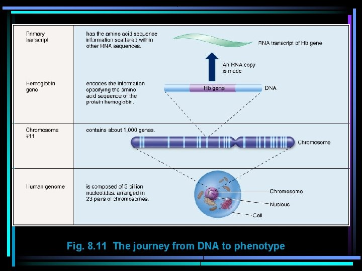 Fig. 8. 11 The journey from DNA to phenotype