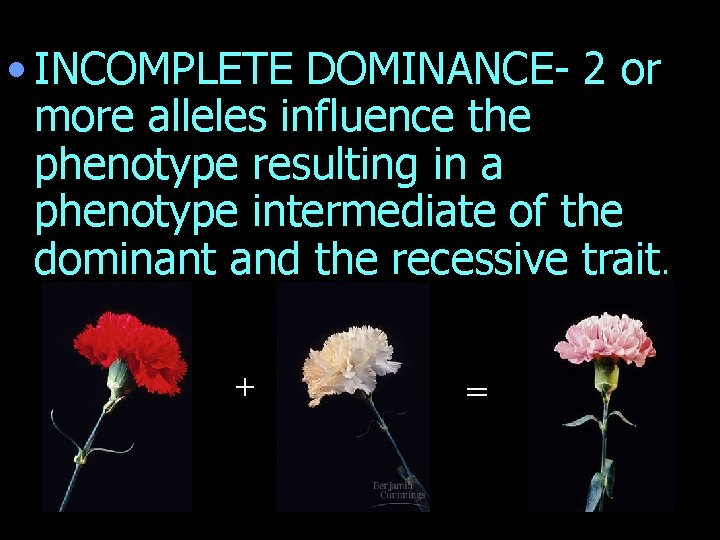 • INCOMPLETE DOMINANCE- 2 or more alleles influence the phenotype resulting in a