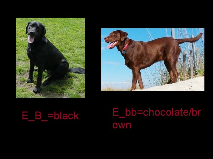 E_B_=black E_bb=chocolate/br own