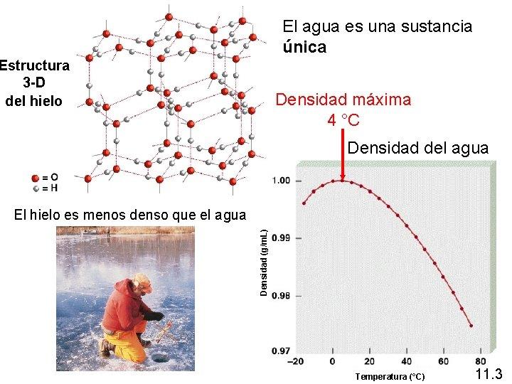 El agua es una sustancia única Estructura 3 -D del hielo Densidad máxima 4