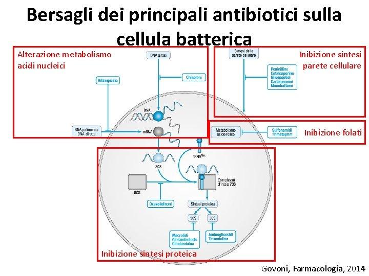Bersagli dei principali antibiotici sulla cellula batterica Alterazione metabolismo acidi nucleici Inibizione sintesi parete