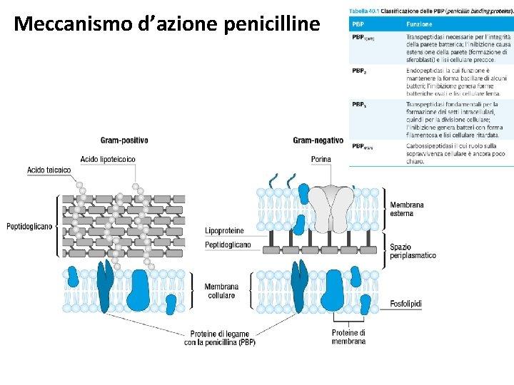 Meccanismo d'azione penicilline
