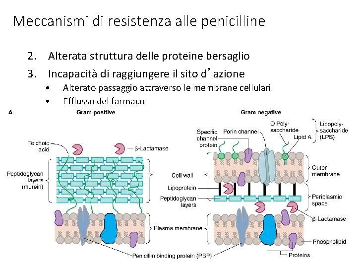 Meccanismi di resistenza alle penicilline 2. Alterata struttura delle proteine bersaglio 3. Incapacità di