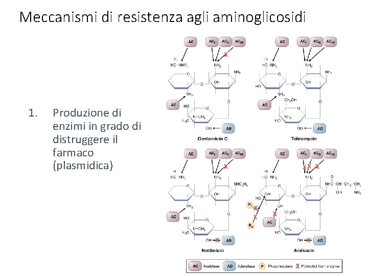 Meccanismi di resistenza agli aminoglicosidi 1. Produzione di enzimi in grado di distruggere il