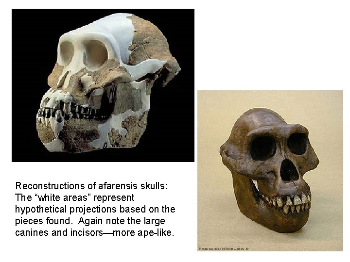 """Reconstructions of afarensis skulls: The """"white areas"""" represent hypothetical projections based on the pieces"""