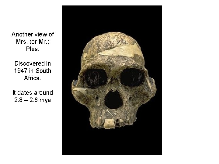Another view of Mrs. (or Mr. ) Ples. Discovered in 1947 in South Africa.