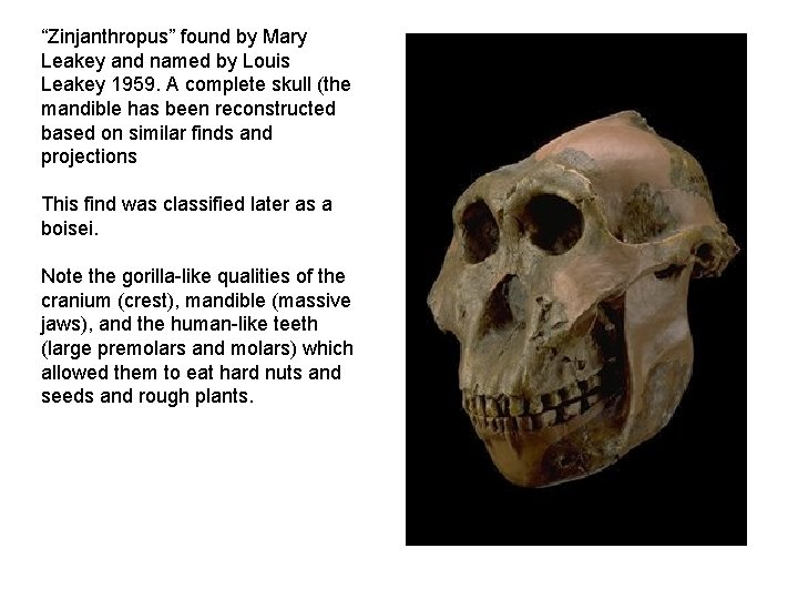"""""""Zinjanthropus"""" found by Mary Leakey and named by Louis Leakey 1959. A complete skull"""