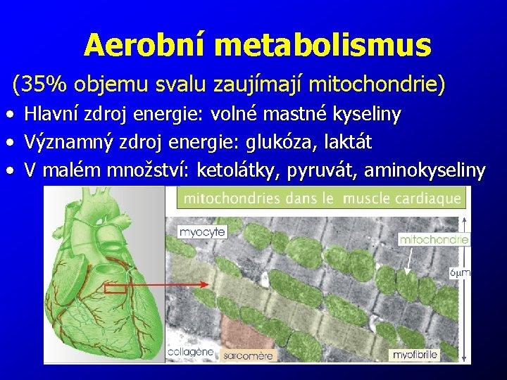 Aerobní metabolismus (35% objemu svalu zaujímají mitochondrie) • • • Hlavní zdroj energie: volné