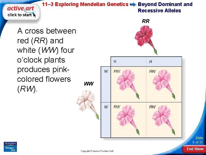 11– 3 Exploring Mendelian Genetics Beyond Dominant and Recessive Alleles RR A cross between