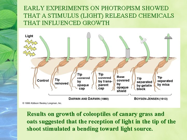EARLY EXPERIMENTS ON PHOTROPISM SHOWED THAT A STIMULUS (LIGHT) RELEASED CHEMICALS THAT INFLUENCED GROWTH